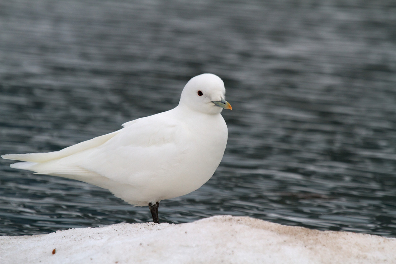 ivory gull (very rare bird)