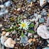 Arctic dandelion