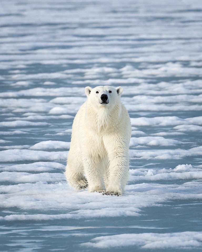 bear%20on%20the%20ice%207150--X2.jpg