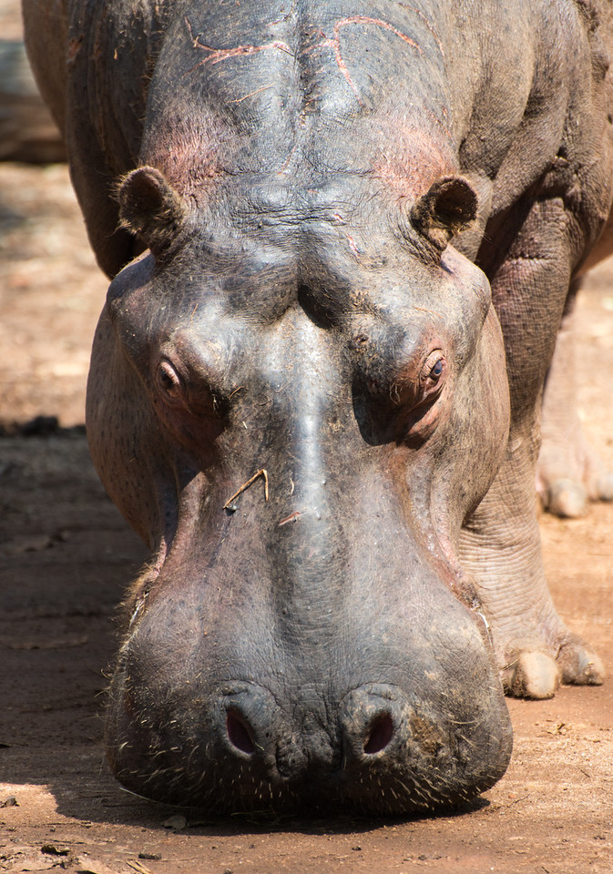 Hippopotamus in Mlilwane Wildlife Sanctuary.