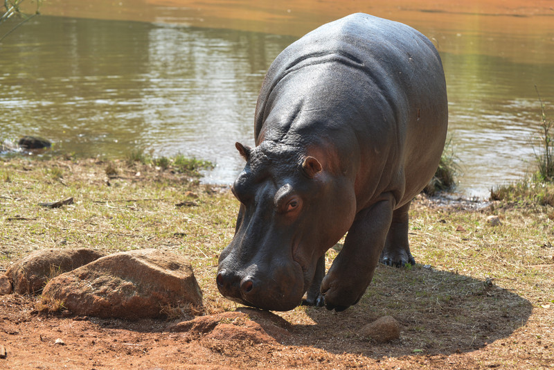 Hippopotamus in Mlilwane Wildlife Sanctuary.