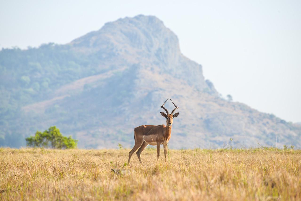 Gazelle in Mlilwane Game Reserve