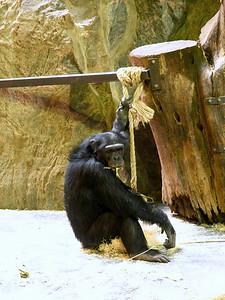 Kolmården: Simpnassi, Schimpans (Pan troglodytes) - Chimpanzee
