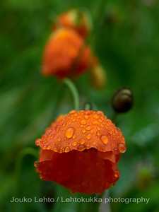 Smålands flowergarden: After the rain