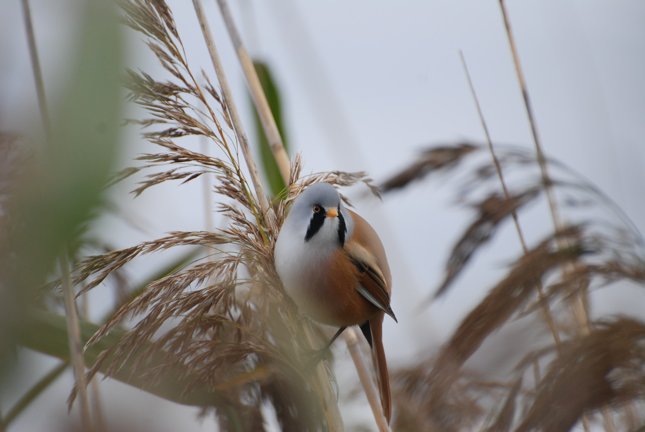 unprocessed - bearded tit or reedling
