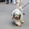 Sigtuna - Polish Lowland Sheepdog