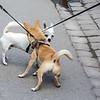 Sigtuna - Chihuahuas meet on the street