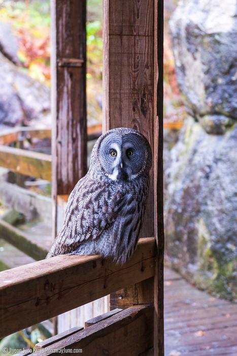 An owl at Skansen