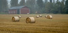 Foggy Field of Hay Rolls
