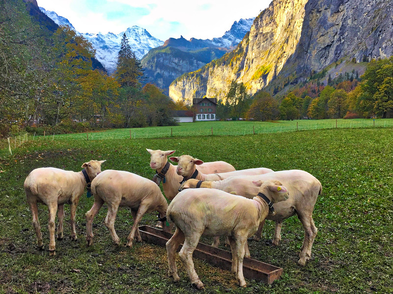Lauterbrunnen Valley: Naked sheep!