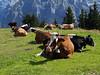 Laid-back cows at Allmendhubel