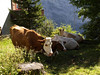 Cows on the edge in Murren