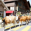 Lauterbrunnen - beginning of the cow parade.