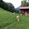 Gimmelwald - these contented Cows were grazing in a field next to the local school.