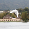 Zürich - this bird soared alongside the boat for part of the journey down the lake.