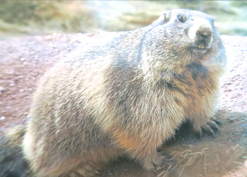 Marmots all around!
