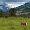 cows in Kiental