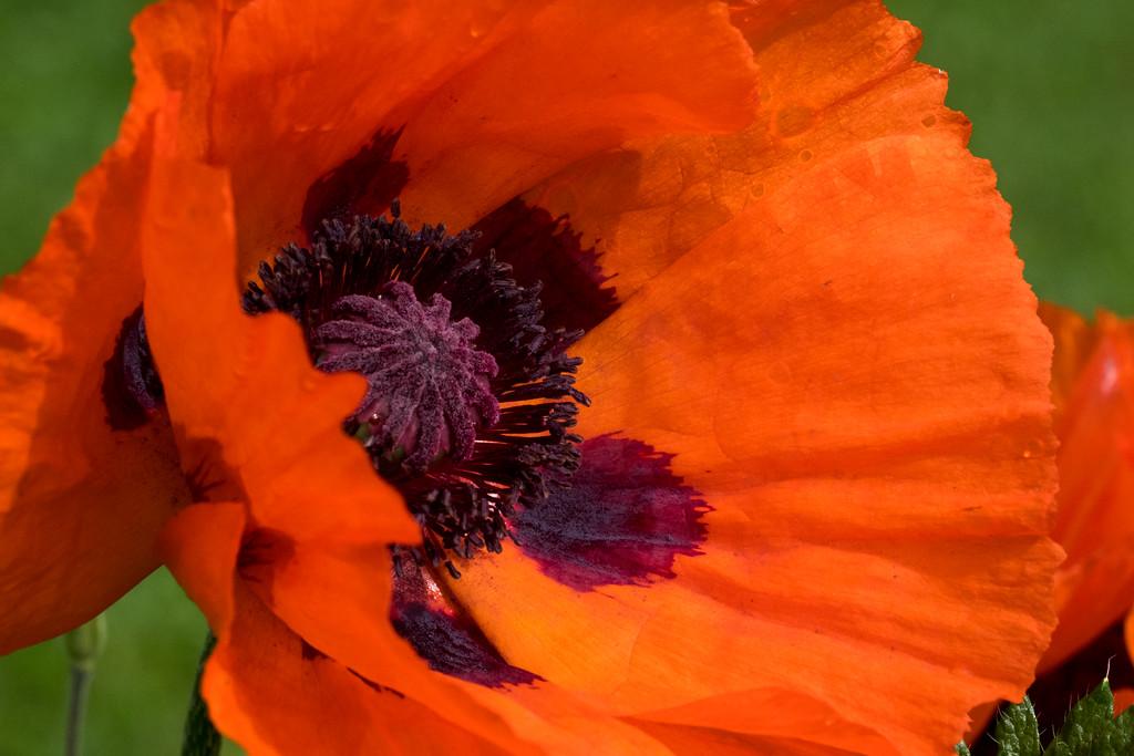 Gimmelwald poppy