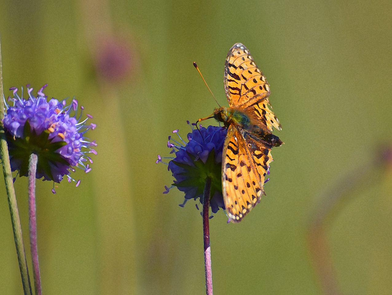 Dark Green Fritillary, Mount Pilatus, above Lucerne