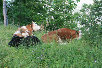 Contented cows with bells.