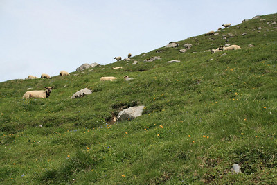 Contented sheep.