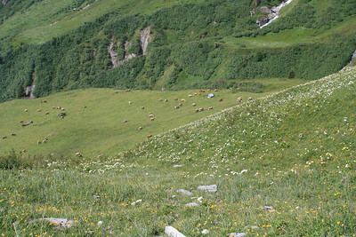 Cows and wildflowers.