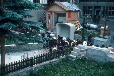 "Twice daily these half-black half-white goats were herded through the village leaving little souvenir ""raisins""."