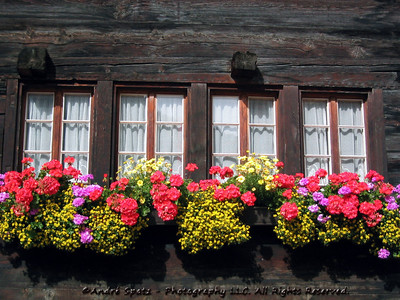 Swiss Geranium