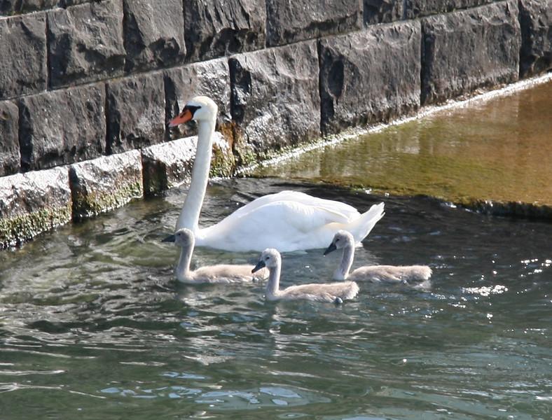 Mama swan and babies. So cute!