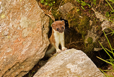 A stoat! Cute and very very curious :)