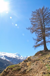 A hiking trail in the mountains outside Zermatt, Switzerland with a lone tree.