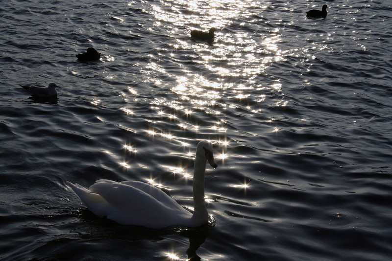 Swans and other birds at dusk on Lake Zurich.