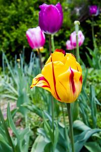 Tulips Stechelberg, Switzerland