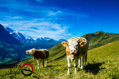 The cows of Switzerland