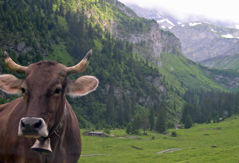 Brown cow, complete with Bell enjoys spring valley grass below the mountain pass - Switzerland