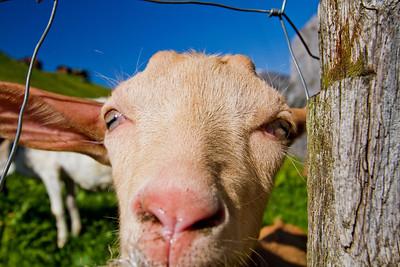 Goat Gimmelwald, Switzerland