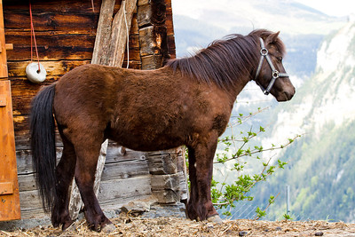 Pony Gimmelwald, Switzerland