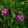 A red campion (Silene).