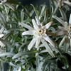 Edelweiss.<br /> (plant from a florist shop)