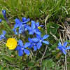 Spring gentian and yellow buttercup high on Mt. Rigi.<br /> May 21, 2012