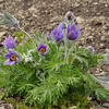 Mountain Pasqueflower (Pulsatilla montana) <br /> planted in a garden in Murren.<br /> May 18, 2012