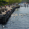 Swans, moorhens, and ducks entertain the tourists at the Utoquai where the Limmat River flows into the Zurichsee (Lake Zurich).<br /> May 26, 2012