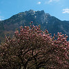 A flowering magnolia in Glarus echoed the shape of the mountain behind it.