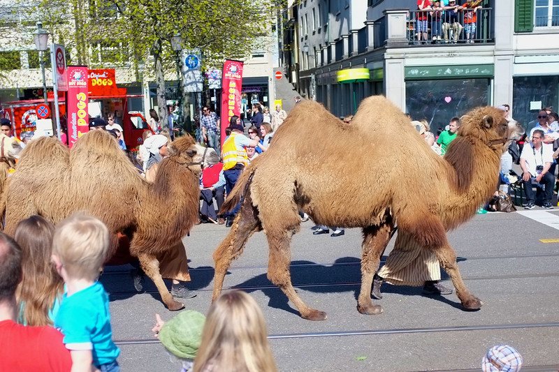 As part of this end-of-winter celebration, all of Zurich's guilds march in a parade.  Here we have the guild whose symbol is a camel.