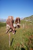 Swiss cows. They were so loud - the bell under their necks rang with every movement.<br /> IMG_9977