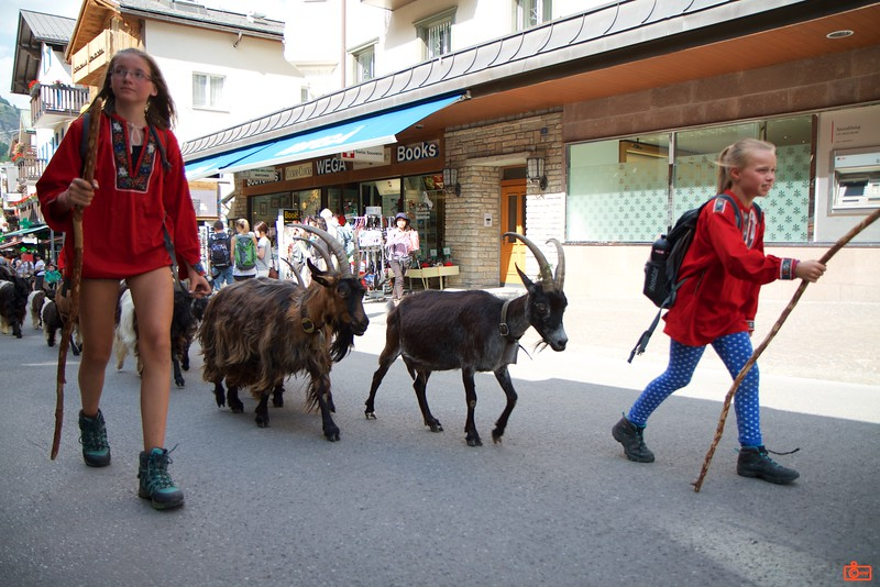 A local family moves their goats through the main street of Zermatt. This happened every day around 4:30PM.<br /> IMG_9720