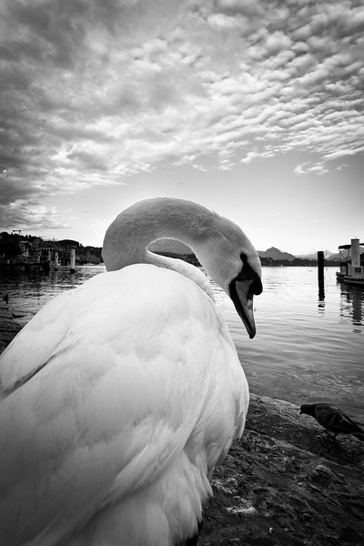 One of the swans of Luzern.