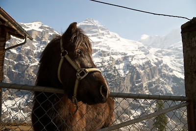 Pony in Gimmelwald