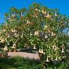 Angel Trumpet Tree