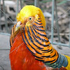 Golden Pheasant at the Wildlife Park in Sydney, Australia.